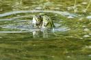 Wasserfrosch130530101719