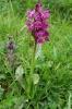 Dactylorhiza-majalis-090714102013