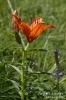 Feuerlilie130706160801
