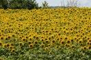 Sonnenblumen120716165055