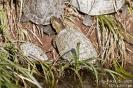 Sumpfschildkröte080430154736