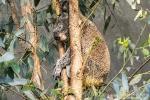 Koala180626152050